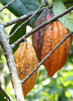 Cocoa, Periyar - Kerala, India.