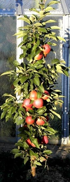 - stĺpovité tvary - OVOCINÁRSTVO Fruit, Plants, Gardening, The Fruit, Lawn And Garden, Plant, Planting, Yard Landscaping, Planets