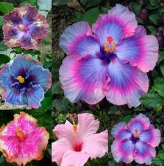 RARE FLOWER GIANT HIBISCUS PERENNIAL 100 SEEDS MIX BLUE PINK COLOR GARDEN PLANT in Home & Garden, Yard, Garden & Outdoor Living, Plants, Seeds & Bulbs | eBay