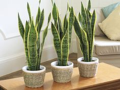 A plant I could manage not to kill? Snake plant (Sanseviera). This amazing plant can handle very low light levels, such as bathrooms without windows and dim inside corners.