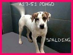 Spalding County Animal Shelter   A17-51-PONGO.jpg.w300h229
