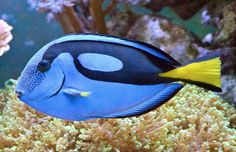 Regal Tang Regal Tang is also known as palette surgeon fish or a blue tang. Regal Tang became famous from the movie Finding Nemo in which it is featured as a character. Beautiful Sea Creatures, Animals Beautiful, Cute Animals, Underwater Creatures, Ocean Creatures, Colorful Fish, Tropical Fish, Saltwater Aquarium Fish, Freshwater Aquarium