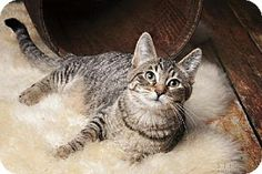 Detroit Lakes, MN - Domestic Shorthair. Meet Rose a Cat for Adoption.