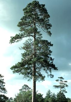 Tallest red pine (Pinus resinosa) in Minnesota