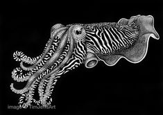 CuttleFish Ink Drawing. Signed by Artist by TimJeffsArt on Etsy, $150.00