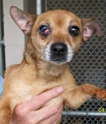 Butter is a super sweet girl. She is a Chihuahua/Jack Russell Terrier mix in need of some good TLC. She is only 4 years old and loves attention.