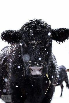 Snowy cow ❄️