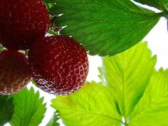 "Rodale News reports on ""The Dark Side of Strawberries"" and why to go organic."