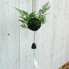 Japanese traditional hanging bonsai, Tsurishinobu. #plant #bonsai #Japan #interior