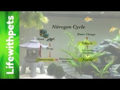 Nitrogen cycle for the nerds kids pinterest teaching biology how to cycle a tank and the nitrogen cycle youtube ccuart Image collections