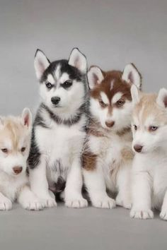 Blonde,black, and red husky. Blonde,black, and red husky. Cute Baby Animals, Animals And Pets, Funny Animals, Cute Puppies, Cute Dogs, Dogs And Puppies, Doggies, Beautiful Dogs, Animals Beautiful