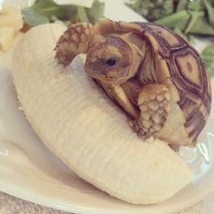 A banana and tortoise