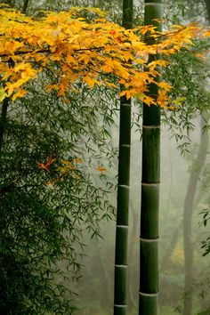Yellow leaves and bamboo