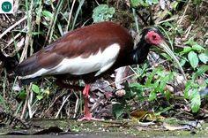 https://www.facebook.com/WonderBirdSpecies/ Madagascan ibis/Madagascar crested ibis (Lophotibis cristata); Endemic to Madagascar; IUCN Red List of Threatened Species 3.1 : Near Threatened (NT)(Loài sắp bị đe dọa) || Cò quăm mào Madagascar; Loài đặc hữu đảo Madagascar; HỌ CÒ QUĂM - THRESKIORNITHIDAE (Ibises, Spoonbills).
