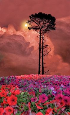 Flowered Sunset - Skagit, Washington stunning photography, washington state, tree, travel pictures, sunset, red flowers, beauty photos, flower fields, place