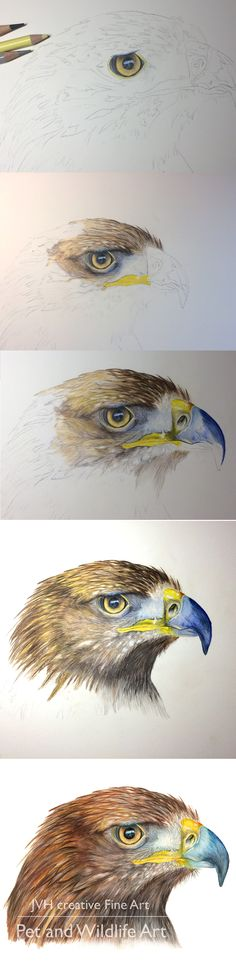 Golden Eagle, Coloured Pencil step by step to the finished portrait. Prints, cards and bookmarks featuring Able the Golden Eagle are available from my website.