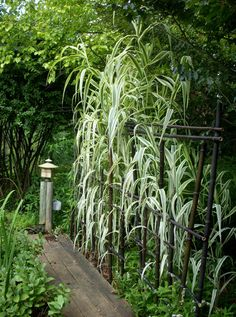 Black bamboo fence constructed to support tall Arundo donax 'Variegata' along back of pond
