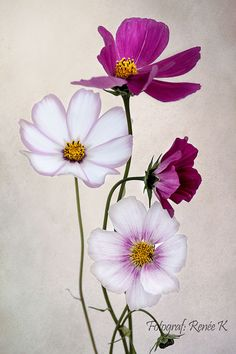Rosenskära Watercolor Flowers, Watercolor Paintings, Cosmos Flowers, Floral Drawing, Flower Phone Wallpaper, Deco Floral, Painting Lessons, Flower Pictures, Botanical Art