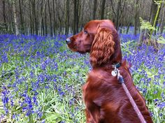 Irish setter in bluebells I Love Dogs, Cute Dogs, Irish Setter Dogs, Hunter Dog, Scottish Deerhound, Irish Terrier, Irish Wolfhound, Arwen, Red Dog