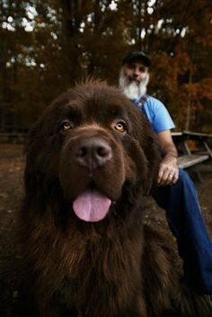 Awwwww! The Newfoundland Dog. I will have this dog someday!!