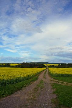 Yellow Fields of Canola