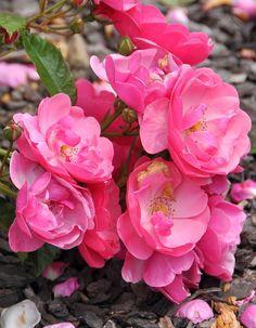 A continually expanding gallery of named rose photos. Elegant Flowers, Fresh Flowers, Kordes Rosen, Floribunda Roses, Rose Photos, Climbing Roses, Love Rose, English Roses, Clematis