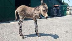 This little guy is a 'zonkey' and is a cross between a zebra and a donkey.