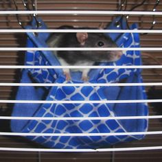 Little Abby happy on her new Double-Hammock! Thank you for the picture, send us yours to get your pet featured with our products  #critter #montreal #instarat #rodent #petrat #petbed #tube #mouse #mice #hamster #pouch #hammock #rats #rattiegram #ratties #rattie #gerbil #chinchilla #etsyshop #etsyseller #degu #chinchilla #guineapig #ratstagram #ratcommunity #hammock #ferrets #ratsofinstagram #cage #ratsofig #handmade #handmadewithlove Degu, Double Hammock, Gerbil, Pet Rats, Ferrets, Chinchilla, Guinea Pigs, Mice, Montreal