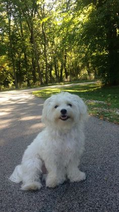 Maltese - Bentley - One Year Old - A Walk In The Park