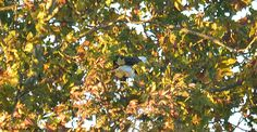 Patty, landing in the sycamore tree.