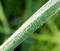 Dew drops on a leaflet of paddy field on the outskirts of Jammu.           Excelsior/Rakesh