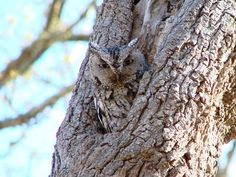 Eastern Screech Owl (Megascops asio). Comes in red or grey phase plumages - these are the same species, and color is not linked to age or gender. Only small eastern owl with ear tufts. 2015 NOVA Christmas Bird Count: Unusual sightings--one sector had an owl trifecta (Eastern Screech, Barred and Great Horned); the last time our whole count circle had three owls was 2006.