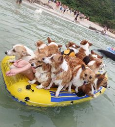 I don't know what is happening here....But it looks like the Corgis have taken over ~ Do you see the human feet stickin' out of the back?