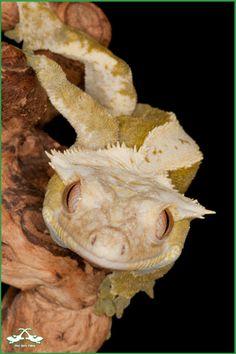 Rhacodactylus ciliatus crested gecko