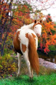 Paint Horse in beautiful autumn setting All The Pretty Horses, Beautiful Horses, Animals Beautiful, Cute Animals, Pretty Animals, Painted Horses, Zebras, Cheval Pie, Majestic Horse