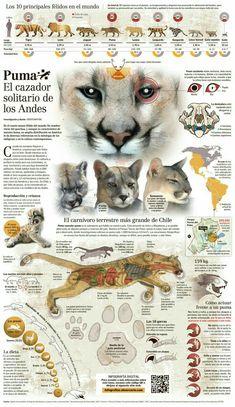 8abbeedf6c6a4 45 mejores imágenes de Puma en 2014 | Animales, Grandes felinos y ...