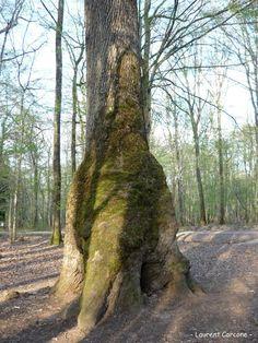 Poursuivons la balade en forêt de Tronçais en compagnie de Laurent. Après avoir découvert le Chêne de la Bouteille, puis le superbe Chêne Saint-Louis, voici venu le Chêne Carré. Il s'agit du dernie...