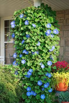 grow in hanging pot so they grow down (great curb appeal as well as good for bees)