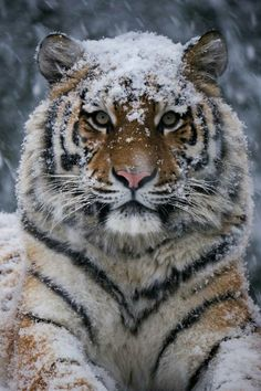 "Tiger ""My favorite animal Photography by Diego Cevallos Martinez Wildgeography"" Animals And Pets, Baby Animals, Cute Animals, Wild Animals, Animals In Snow, Beautiful Cats, Animals Beautiful, Big Cats, Cats And Kittens"