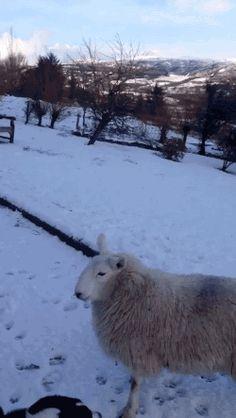 animals dog snow lamb