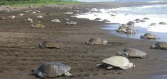 Turtle Nesting Tour at Night is a different tour for your vacation in Costa Rica where you will be able to see the place where the turtle nesting.