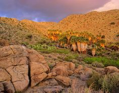 Grove of palms in a desert canyon near Mountain Palm Springs at Anza-Borrego State Park, California, AGPix_0586.