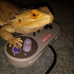 Buddy the #indie gamer buddy. #misterfitshace #mister_fitshace #beardeddragon #buddy #lizard #reptile #spikey #gamer #indiebox
