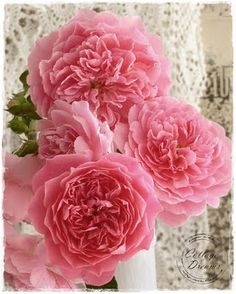 """David Austin """"Harlow Carr"""" Roses - gorgeous! #flowers #roses #shabby_chic"""