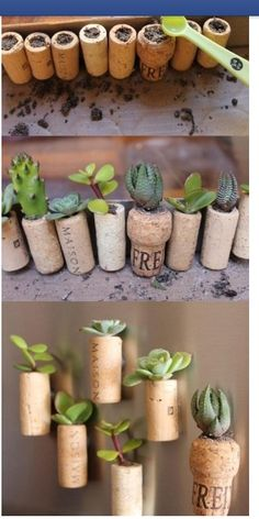 Cork project - corks repurposed as tiny pots for succulents, magnets hot glued on the back. Too cute!  Spray with water once a week.  Use a Swiss Army knife to hollow the corks, the cork screw and the knife. Will post 2 more pics titled cork project pic 2 & cork project pic 3. :)