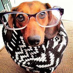 Vera the dog in glasses