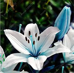 2 bulbs true lily bulbs,lily flower,(not lily seeds),flower indoor plant Radiation Absorption,Natural growth for home garden