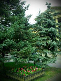 Streamzoo photo - Firtrees