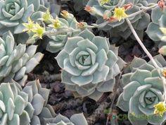 Graptoveria cv. Titubans (Graptopetalum paraguayense x Echeveria derenbergii)