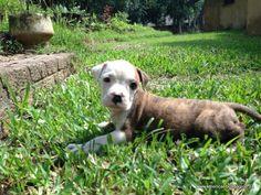 Marina's Blue American Bulldog puppies in South Africa Blue American Bulldog, American Bulldog Puppies, Marina Blue, South Africa, Labrador Retriever, Pets, Animals, Labrador Retrievers, Animales